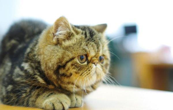 加菲猫鼻支怎么办